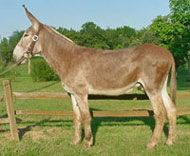 American Mammoth Jackstock Livestock as gentle as can be when trained and handled right~