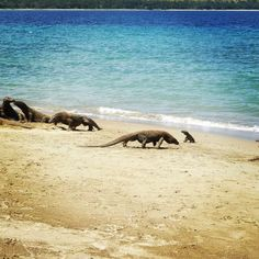 A Komodo dragon...on Komodo Island! #Indonesia Photo courtesy of girllivant on Instagram.