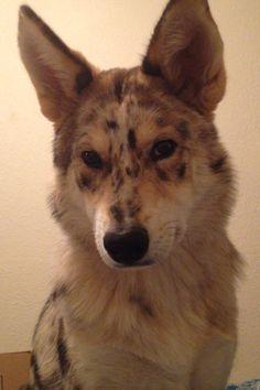 Australian Shepherd Husky mix. Follow her on instagram @kaia_the_ausky !!!
