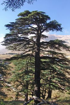 Cedar of Lebanon ~ The wood of this tree was used by Solomon in the construction of the temple he built in Jerusalem. Photo credit: CharlesFred