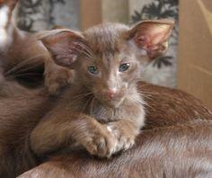 Oriental shorthair cats Noah van Scalindjo, female, OSH b, chocolate, DOB 25.05.2015