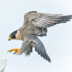 Nearly decimated in the by widespread use of the pesticide DDT, the peregrine falcon population made a slow comeback as a federally-protected endangered Falcon Tattoo, Falcon Logo, Bird Pictures, Animal Pictures, Half Sleeve Tattoos Sketches, Largest Bird Of Prey, Peregrine Falcon, Birds Of Prey, Endangered Species