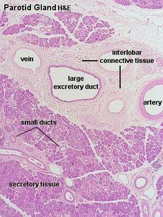 Parotid gland HE Medical Careers, Medical Art, Medical Science, Tissue Biology, Histology Slides, Parotid Gland, Salivary Gland, Microscopic Photography, Human Anatomy And Physiology