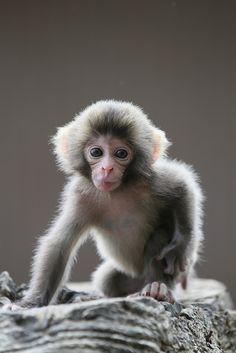Monkeys, cute monkey, little babies, cute little baby, baby animals Cute Baby Animals, Animals And Pets, Funny Animals, Cute Little Baby, Cute Babies, Types Of Monkeys, Pet Monkey, Little Monkeys, Snow Monkeys