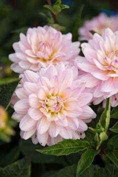Growing Dahlias, Pink Garden, Flower Farm, Natural Forms, Water Lilies, Summer Colors, Soft Colors, House Plants, Flora