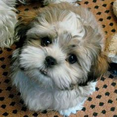 That's our next baby :) love this breed! Half ShitZu half bichon. They're called teddy bear  Look at that face!