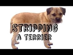 HOW TO STRIP...a terrier - YouTube