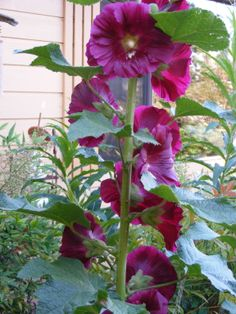 Cottage garden essential: black single-bloom Hollyhock. #gardening