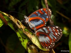 Two Clear-wing Butterflies: Oleria cyrene solida [?] - ID by Dominik Hofer - From Ecuador