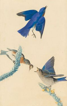 John James Audubon (1785-1851), Eastern Bluebird (Sialia sialis), Study for Havell plate no. 113, ca. 1820; 1822. Watercolor, pastel, graphite, charcoal, and black ink with selective glazing on paper, laid on thin board. New-York Historical Society, Purchased for the Society by public subscription from Mrs. John J. Audubon, 1863.17.113