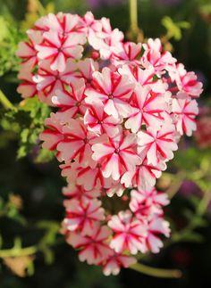Dainty Little Star Flowers