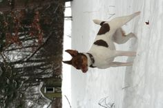 Chloe, Rat Terrier Squinting in the Snow Photo by E Utz