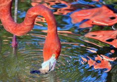 Feeding Flamingo  Flickr