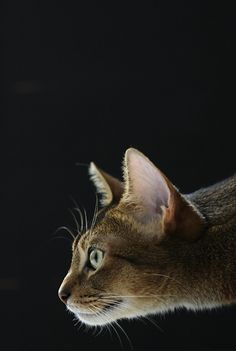 Abyssinian cats are like no other cat you could ever own.