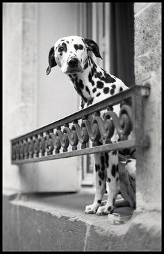 Paris Dalmatian dog