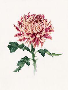 Watercolour botanical portrait of 'Japanese Chrysanthemum'.