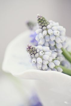 White grape hyacinths