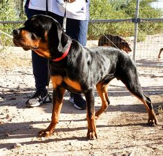 Youth Male Rottweiler available. AKC registration UTD vaccines and dewormings 14 day parvo warranty and Rottweiler Dog, Luxury Life, Rottweilers, Puppies, Dogs, Animals, Instagram, Youth, Luxury Living