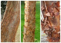 The amazing bark of paperbark maple (Acer griseum)  From left to right:  Cinnamon Flake, Gingerbread and the species.