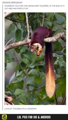 The Indian giant squirrel, or Malabar giant squirrel, (Ratufa indica) is a large tree squirrel species in the genus Ratufa native to India. It is a large- bodied diurnal, arboreal, and mainly herbivorous squirrel found in South Asia. Animals And Pets, Funny Animals, Cute Animals, Strange Animals, Primates, Mammals, Beautiful Creatures, Animals Beautiful, Indian Giant Squirrel
