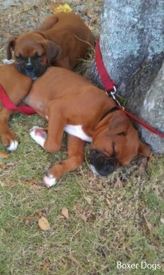 Awesome Types Of Boxer Dog Cute Boxer Puppies, Boxer Dog Puppy, Chihuahua Love, Baby Puppies, Doggies, Boxer And Baby, Boxer Love, I Love Dogs, Cute Dogs