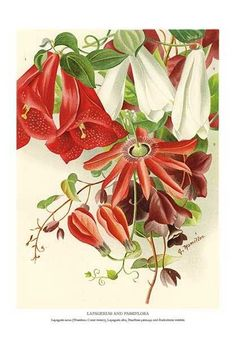Chilean Glory Vines, Passion Flower, and Purple Bell Vine - late 19th century