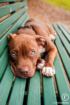 """Sorry this is my bench!"" #dogs #pets #Pitbulls Facebook.com/sodoggonefunny"