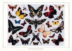 Antique illustration of various butterflies Vintage Images, Vintage Posters, Color Copies, Antique Illustration, Butterfly Print, Antique Prints, Vector Art, Moth, Vintage Antiques