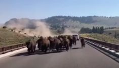 Watch This Spectacular Video Of A Car Being Caught In The Middle Of A Bison Stampede | CutesyPooh