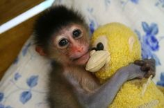 Behbeh monkeys suck their thumbs too....and they have stuffed animals too.  The World We Share is reportin' that a behbeh Mandril monkey was caught snorgling a stuffed animal and sucking her thumb at the Yageer Zoo in Ningbo, Zhejiang Province of China. Hoverfacts and more on this story over at What's On Ningbo.