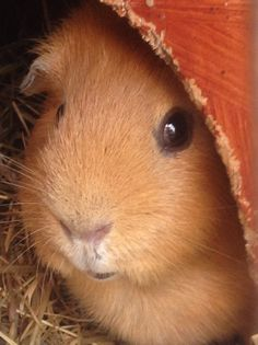 There are many different breeds of guinea pigs from long haired to shorter haired varieties. Here is ad Different Types of Guinea Pig Breeds. Baby Guinea Pigs, Guinea Pig Care, Pet Pigs, Animals And Pets, Baby Animals, Cute Animals, Hamsters, Rodents, Guinea Pig Breeding