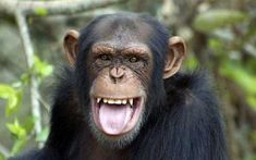 I got This chimpanzee! Which Animal's Inner Human Are You? Most Endangered Animals, Nocturnal Animals, Cute Animals, Rock Animals, Human Dna, Human Faces, Wild Creatures, Pet Rocks, Baboon