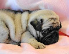 Popular Pugs (@PopularPugs) | Twitter