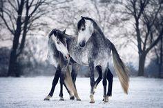 http://ift.tt/1K6283m #animals Winter Dance by SpanishVision http://ift.tt/1WZKctf #pierceandbiersadorf