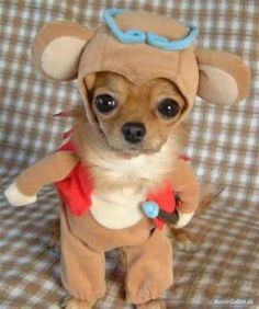 You thought Chloe from Beverly Hills Chihuahua could nag? This little chihuahua is fromChina and is by far th. Cute Dog Costumes, Animal Halloween Costumes, Puppy Costume, Bear Costume, Funniest Costumes, Moose Costume, Chihuahua Costumes, Weird Costumes, Ewok Costume
