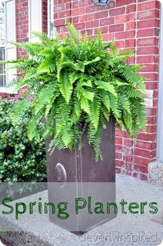 Large ferns in planters @cleverlyinspired