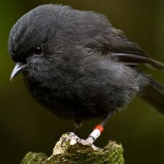 The black robin or Chatham Island robin (Petroica traversi) is an endangered bird from the Chatham Islands off the east coast of New Zealand. It is closely related to the South Island robin (P. Little Birds, Love Birds, Beautiful Birds, Beautiful Butterflies, Beautiful People, Black Animals, Animals And Pets, Cute Animals, Exotic Birds