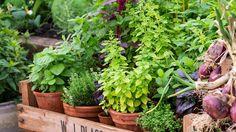 Naplánujte si, ktoré bylinky skombinujete s jednotlivými zeleninovými druhmi.