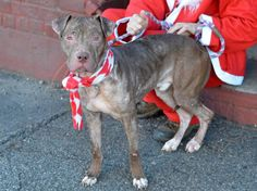 SAFE --- Brooklyn Center   BUB-BUBZ - A1022567   AMERICAN STAFF MIX, 1 yr STRAY - STRAY WAIT, NO HOLD Reason STRAY  Intake condition EXAM REQ Intake Date 12/07/2014, From NY 11377, DueOut Date 12/10/2014,  https://www.facebook.com/photo.php?fbid=921730004506546%2F