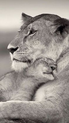 ideas tattoo small lion big cats for 2019 Nature Animals, Animals And Pets, Baby Animals, Cute Animals, Beautiful Cats, Animals Beautiful, Big Cats, Cats And Kittens, Cat Safe Plants