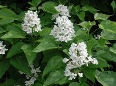Northern Catalpa (Catalpa speciosa, Family Bignoniaceae) Also called Indian Bean, Catawba, and Cigar Tree - Flowering Trees, Bushes and Shrubs of Sleepy Hollow Lake Deciduous Trees, Trees And Shrubs, Flowering Trees, Tulip Poplar Tree, Tree Images, Root System, Wet And Dry, Horticulture, Fertility