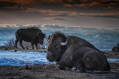 The Look of the Bison-KristalKraft Taken at sundown in the Rocky Mountains of Colorado