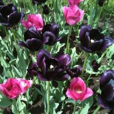 Pink and almost black tulips
