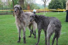 deerhound - Google Search