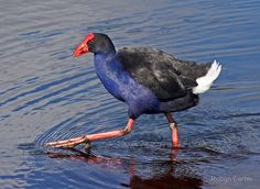 Striding Pukeko by Robyn Carter