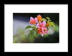 nature, flower, orange, blossom, bloom, bougainvillea, michiale schneider photography