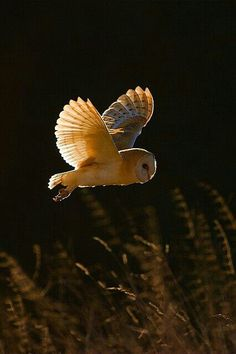 Flying owl - but a horned or screech owl