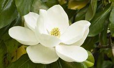 Magnolio. El magnolio es uno de los árboles más hermosos que podemos tener en el jardín gracias a sus flores son grandes y perfumadas.   Nombre común: Magnolia, magnolio  Nombre científico: Magnolia grandiflora  Origen: Estados Unidos  Familia: Magnoliaceae.  Floración: Primavera - verano  Ubicación: Climas templados y húmedos