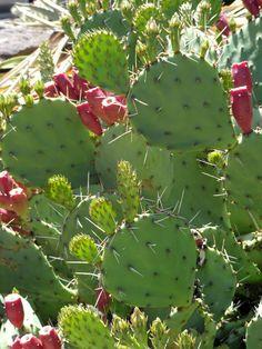 danger garden: More Cacti blooming in the wet grey Pacific Northwest…