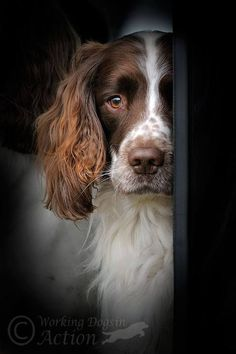 Shy little girl! #dogs #pets #SpringerSpaniels